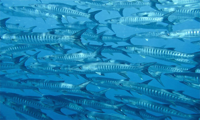 Barracudas, plonger à Zanzibar