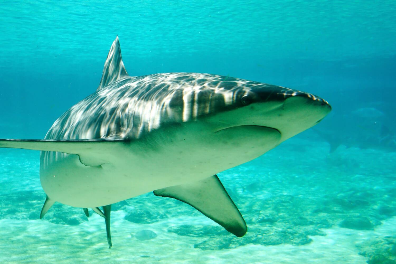 Requin Mako, plongée au Costa Rica