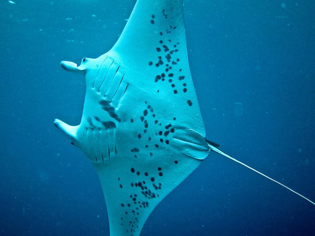 Raie, plongée à Zanzibar