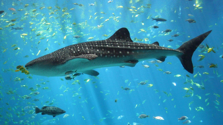 Requin-baleine, plonger à Zanzibar