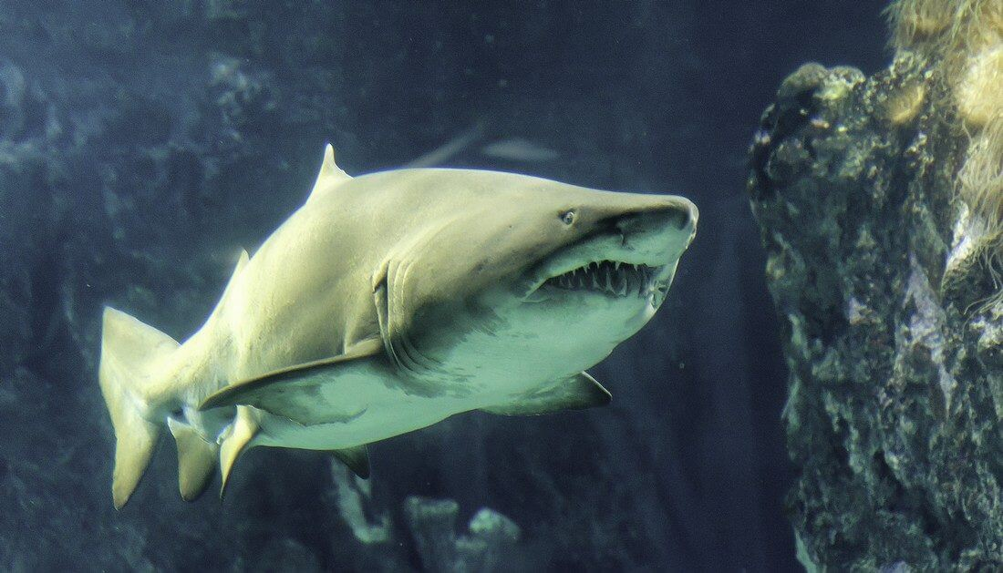 requin taureau plongée à cuba