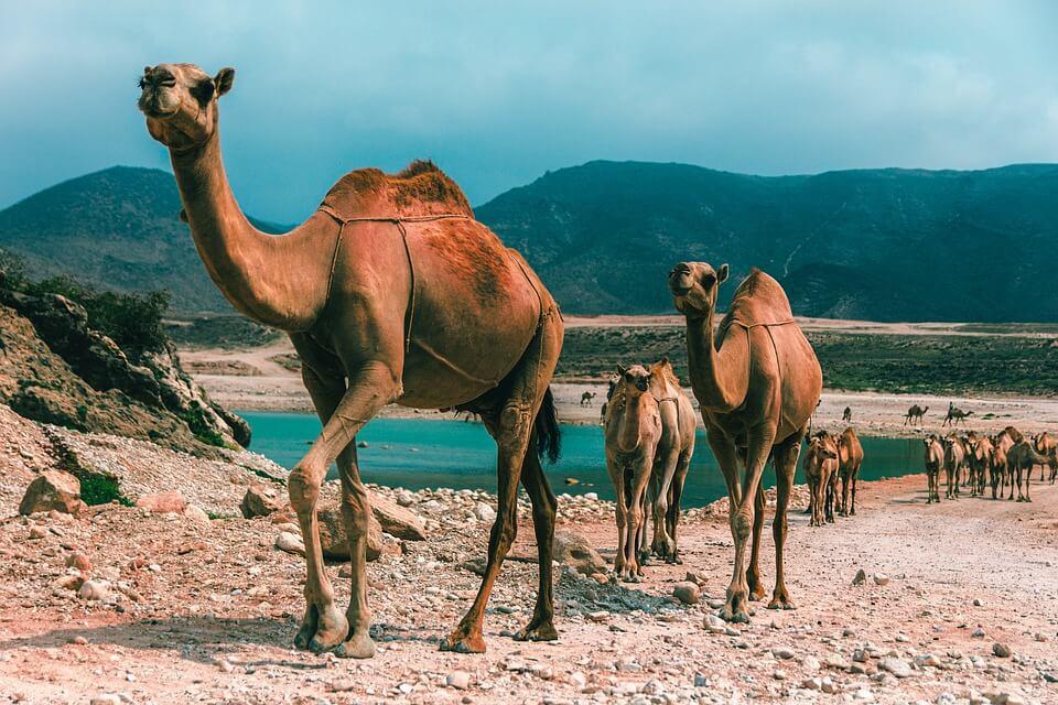 plus belles plages d'oman salalah chameaux mer