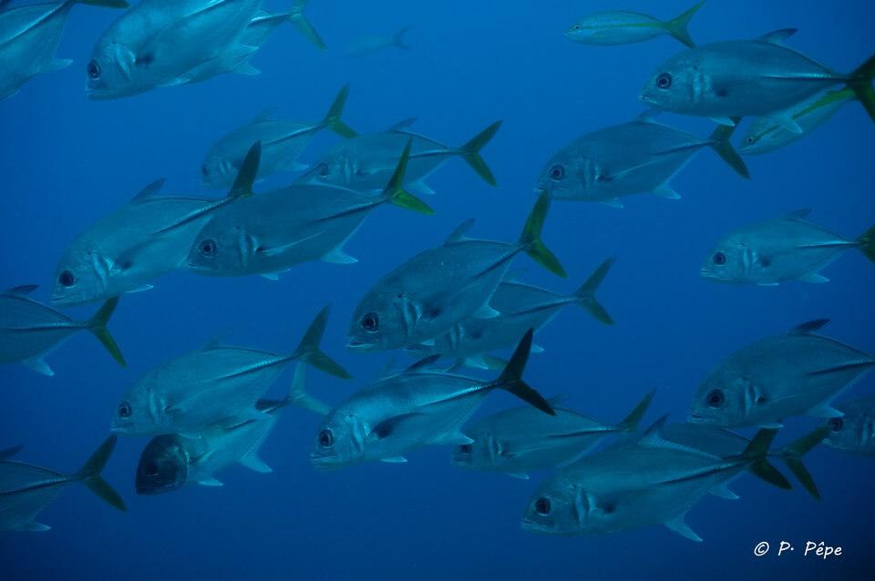 bancs de poissons carangues plongée en Guadeloupe